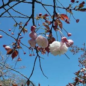 桜:SAKURAについて(4月15日)